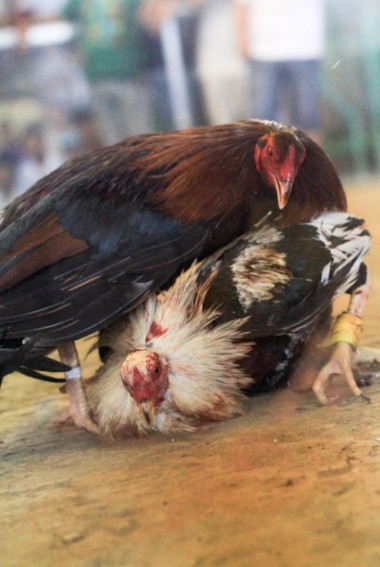 Guiguinto cock fighting